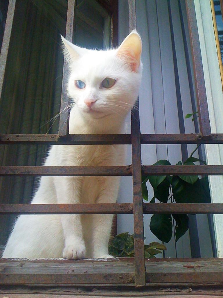 белый_кот